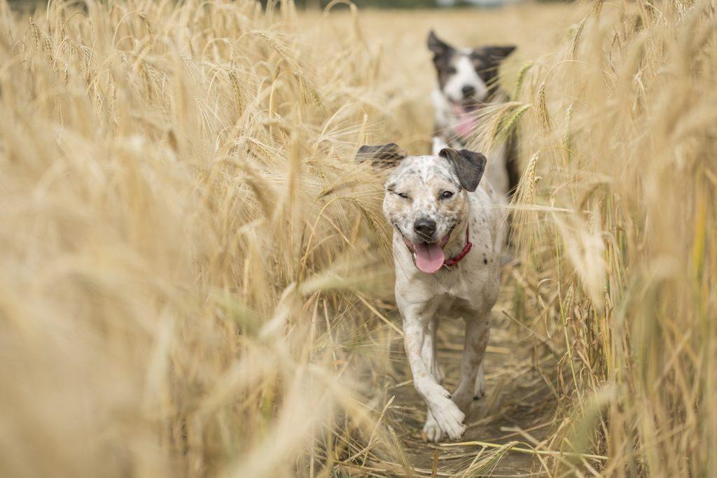 Deux chiens dans champ de blé